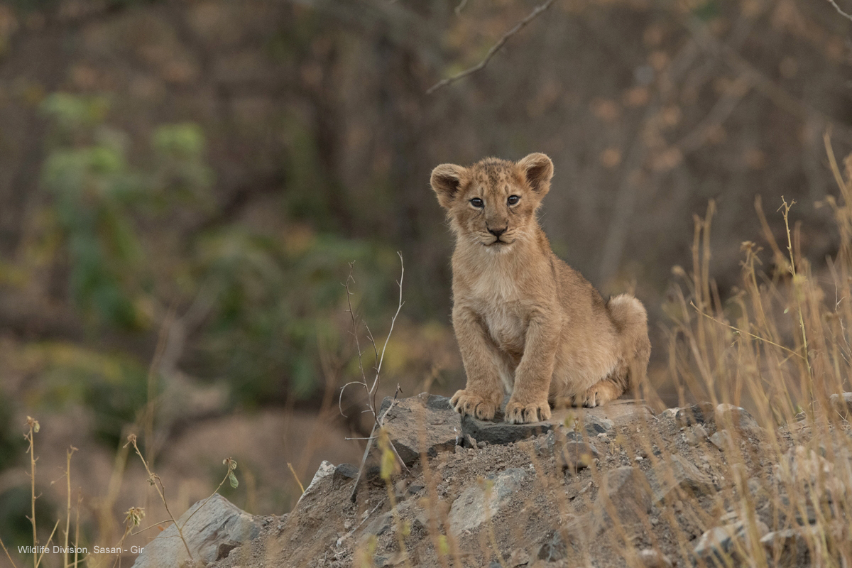 lion-cub